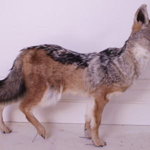 286 Black-Backed Jackal