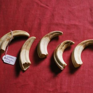 Set of 5 Warthog Tusks